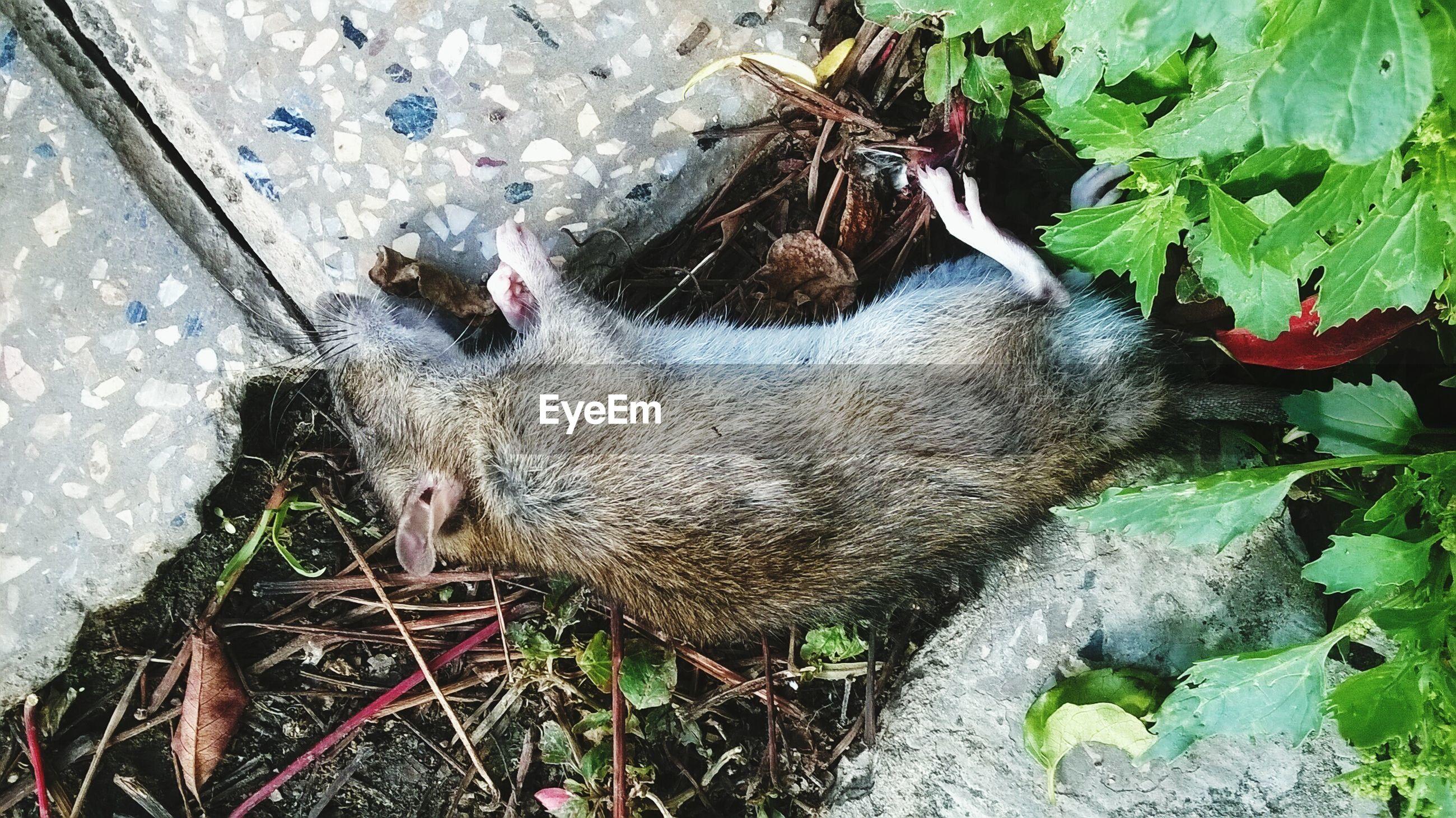 Close-up view of dead rat