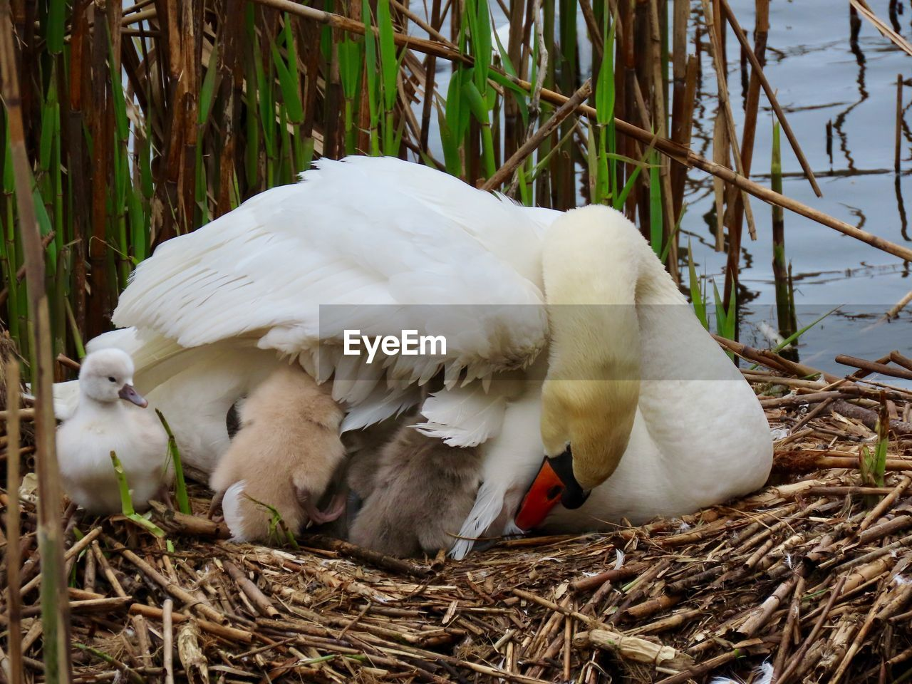 bird, animal themes, animal, vertebrate, animal wildlife, animals in the wild, white color, animal nest, group of animals, day, no people, young bird, bird nest, nature, plant, young animal, two animals, animal family, close-up, swan, outdoors, cygnet