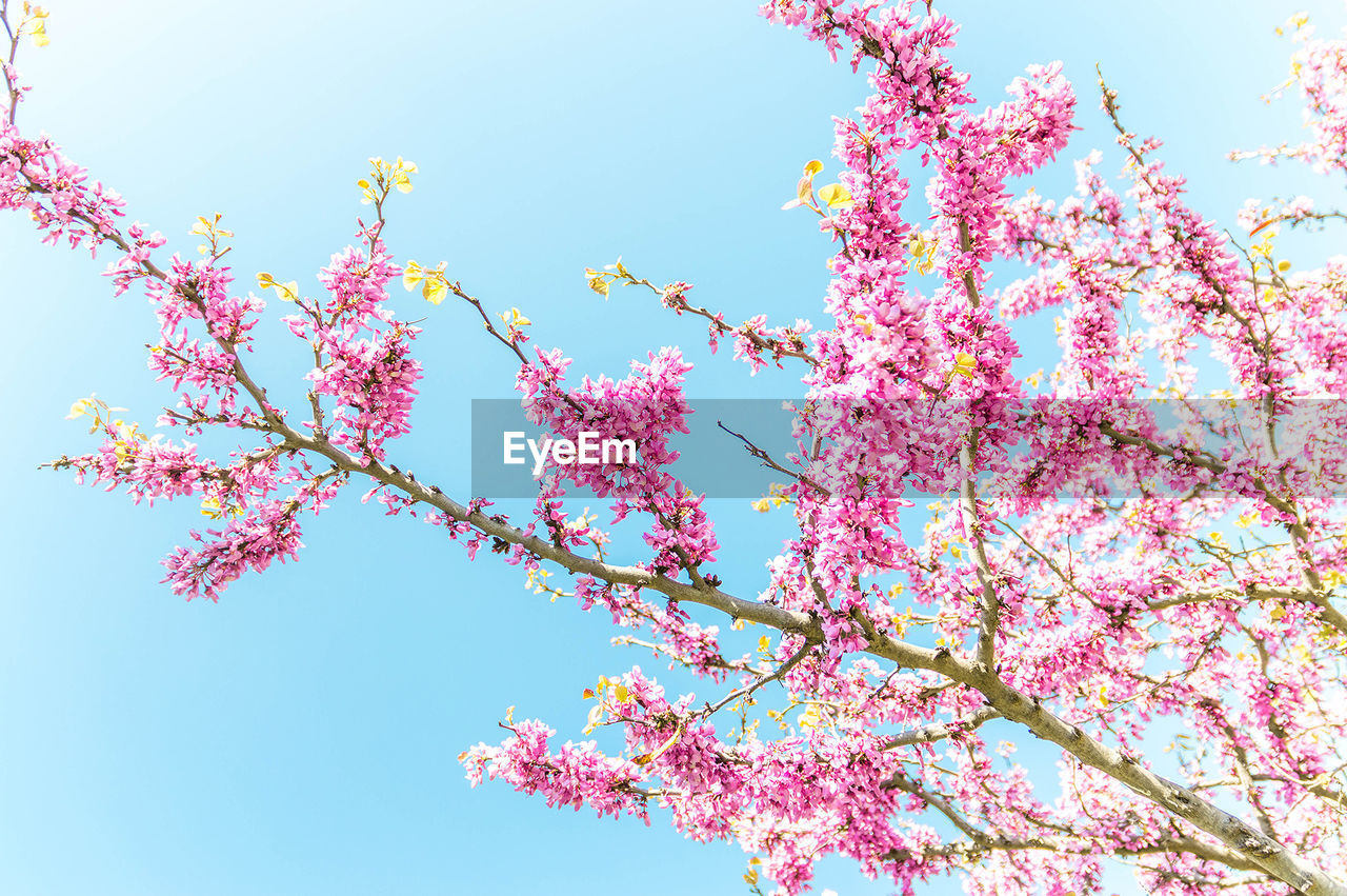 low angle view, sky, tree, plant, pink color, beauty in nature, growth, flower, flowering plant, nature, branch, blossom, freshness, fragility, springtime, day, clear sky, vulnerability, blue, no people, outdoors, cherry blossom, cherry tree, spring