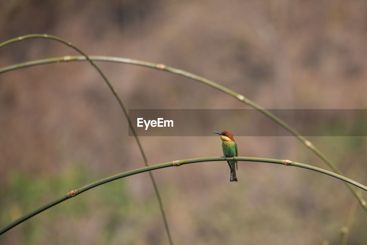 focus on foreground, bird, animals in the wild, one animal, perching, animal wildlife, animal themes, day, kingfisher, green color, nature, no people, outdoors, beauty in nature, close-up