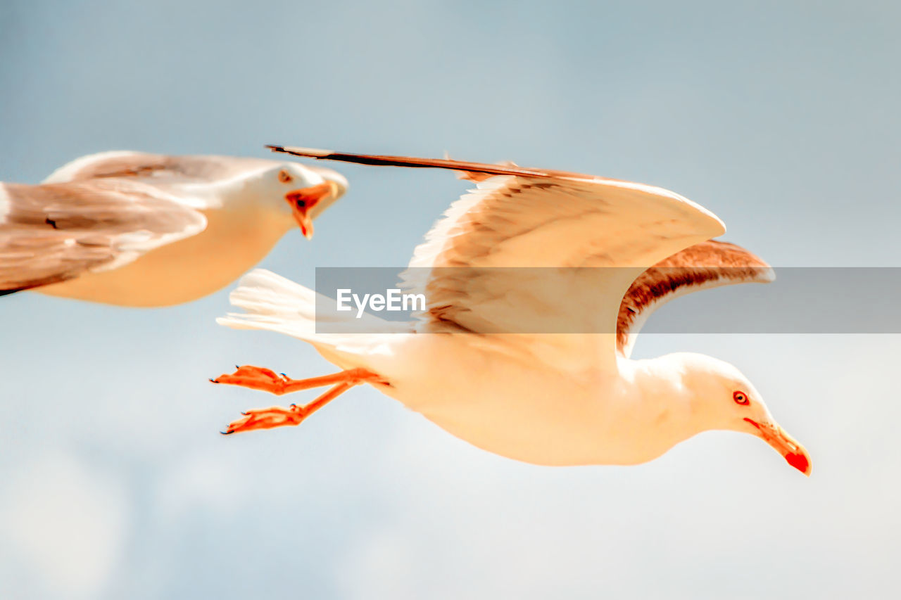bird, animal themes, flying, animal, vertebrate, animals in the wild, animal wildlife, focus on foreground, spread wings, sky, nature, one animal, close-up, day, low angle view, mid-air, no people, motion, outdoors, beak