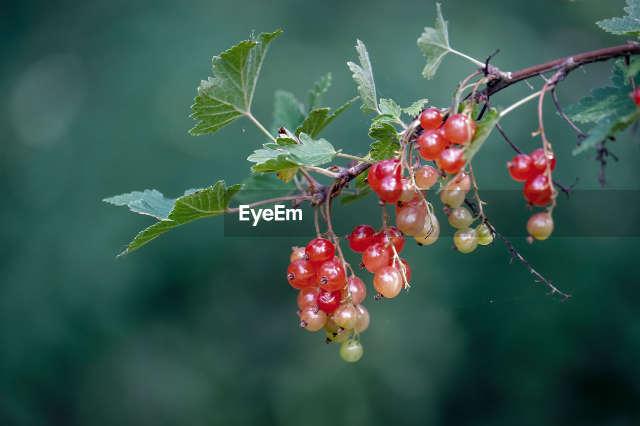 fruit, healthy eating, food and drink, food, growth, red, berry fruit, freshness, plant, close-up, focus on foreground, nature, day, plant part, no people, wellbeing, leaf, beauty in nature, tree, green color, outdoors, rowanberry, ripe, red currant