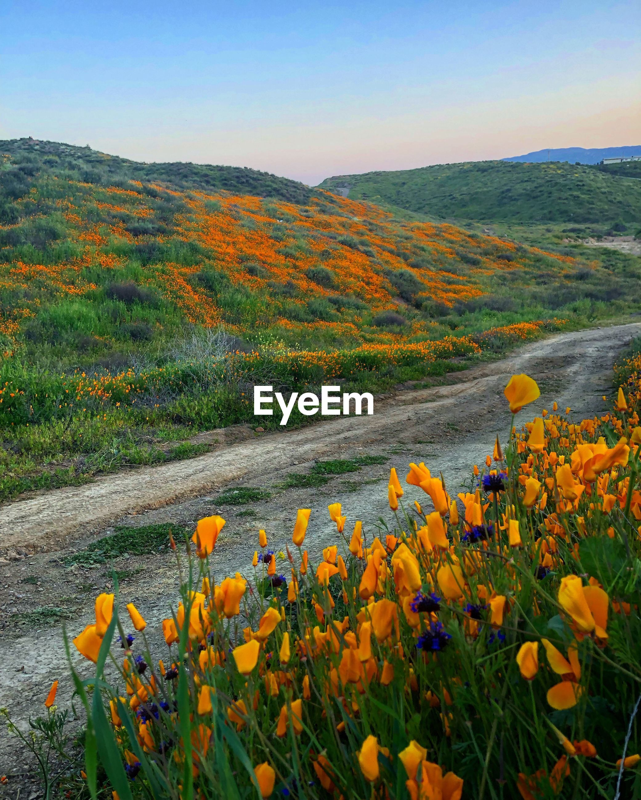 SCENIC VIEW OF FLOWERING PLANTS DURING SUNSET