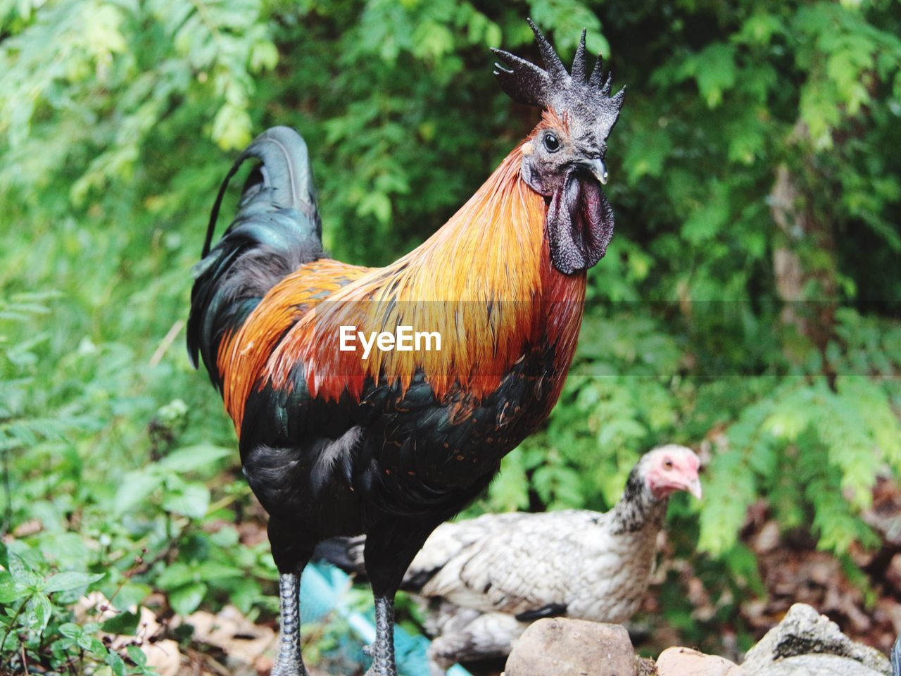Low Angle View Of Rooster