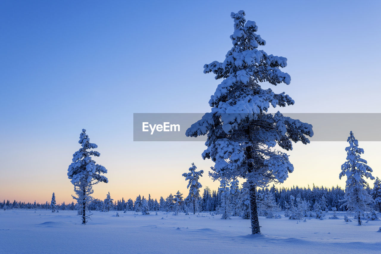 Pine trees on snow covered field against clear blue sky