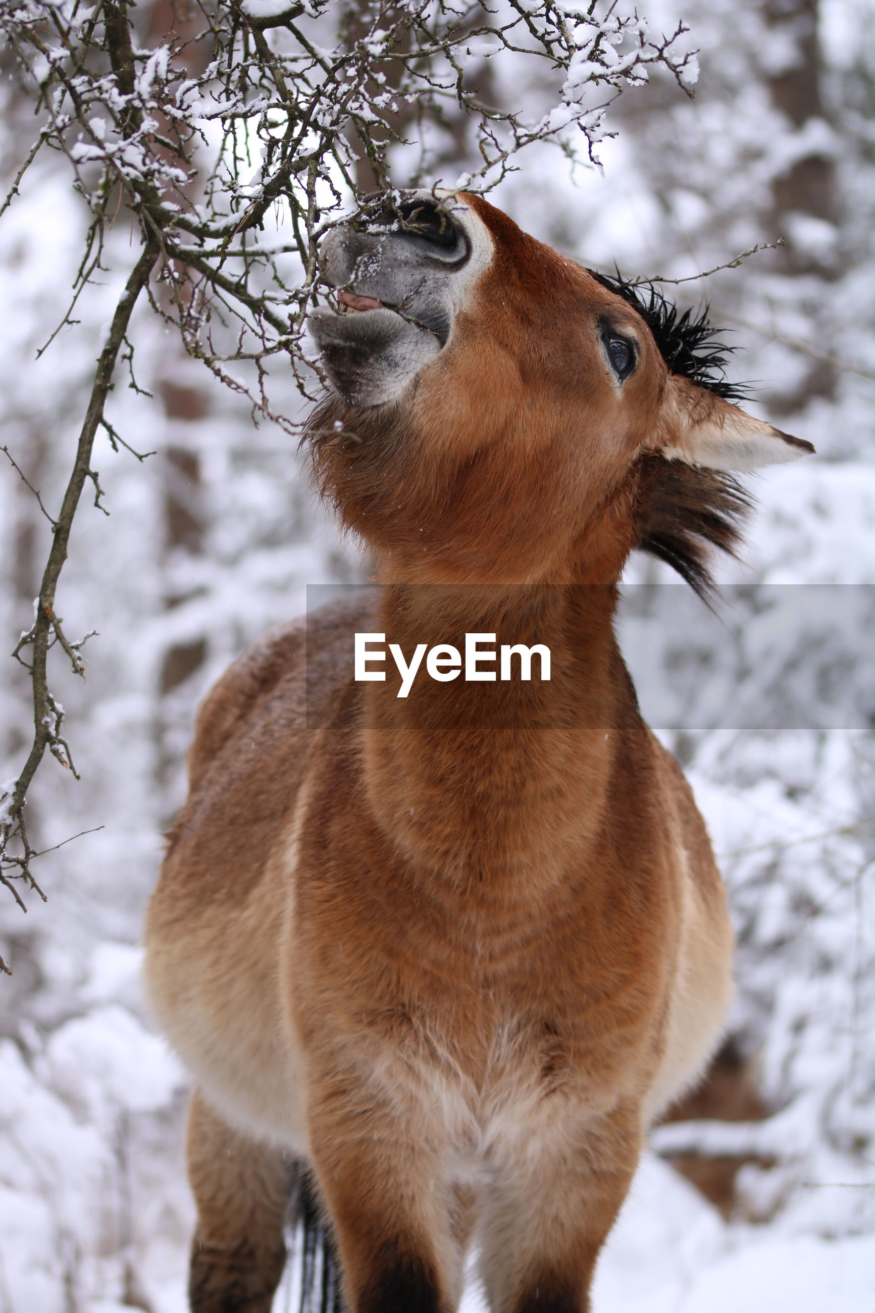 CLOSE-UP OF A HORSE ON SNOW COVERED LAND