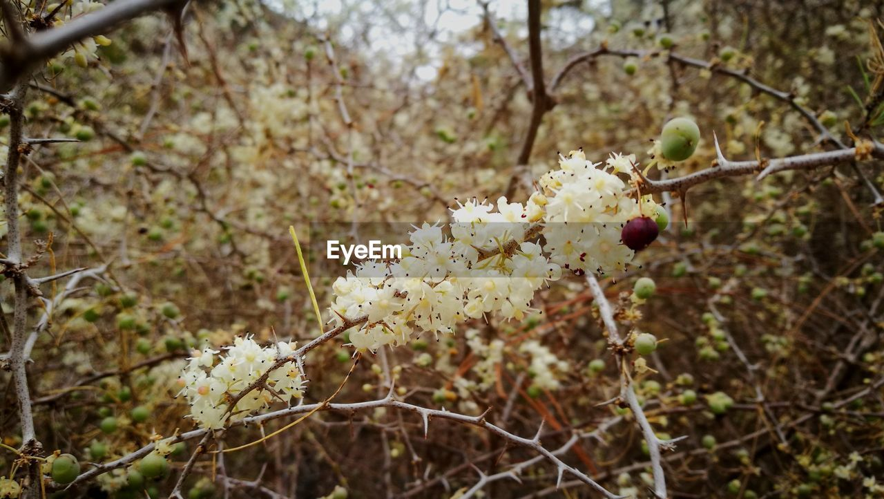 plant, tree, growth, branch, focus on foreground, close-up, day, no people, freshness, beauty in nature, nature, food, fruit, food and drink, flowering plant, healthy eating, flower, vulnerability, twig, outdoors