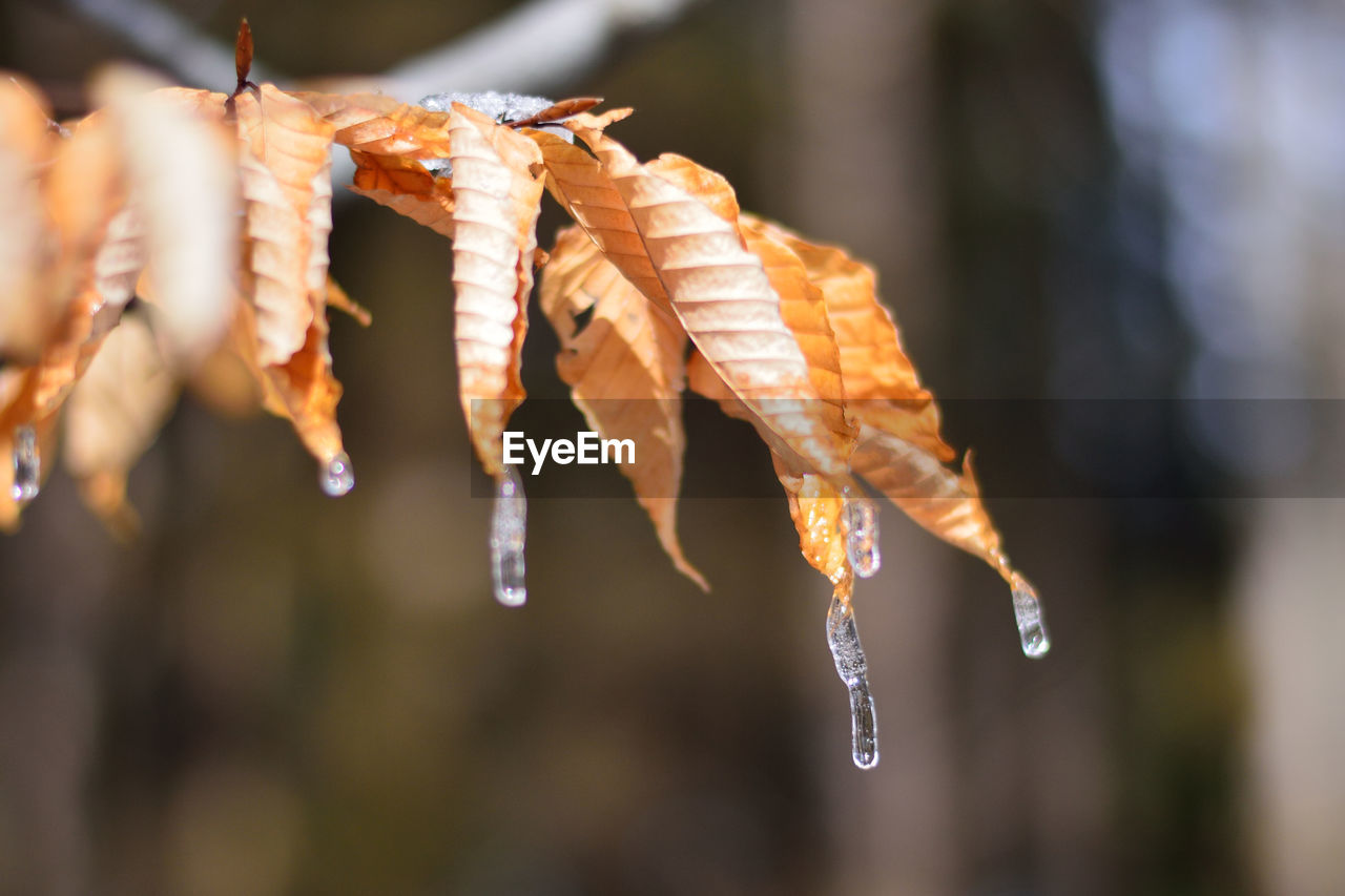 Close-Up Of Icicles On Dried Plant
