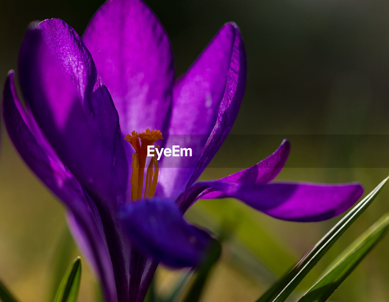 flower, petal, fragility, purple, beauty in nature, nature, flower head, growth, freshness, close-up, no people, plant, blooming, day, outdoors, crocus