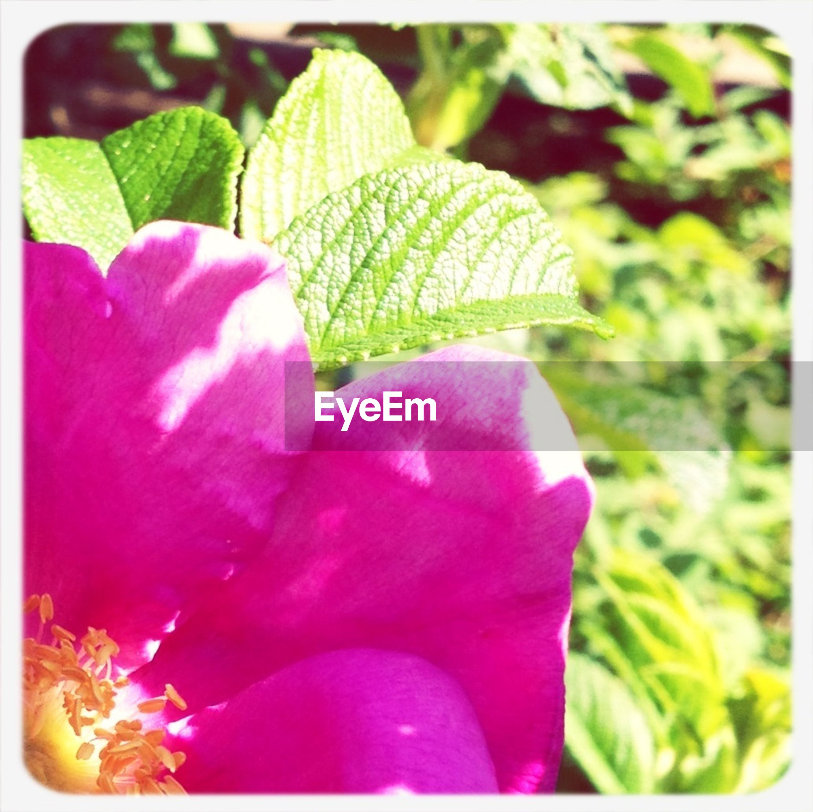 transfer print, auto post production filter, flower, freshness, petal, fragility, growth, close-up, flower head, beauty in nature, leaf, plant, pink color, nature, focus on foreground, selective focus, blooming, in bloom, green color, blossom