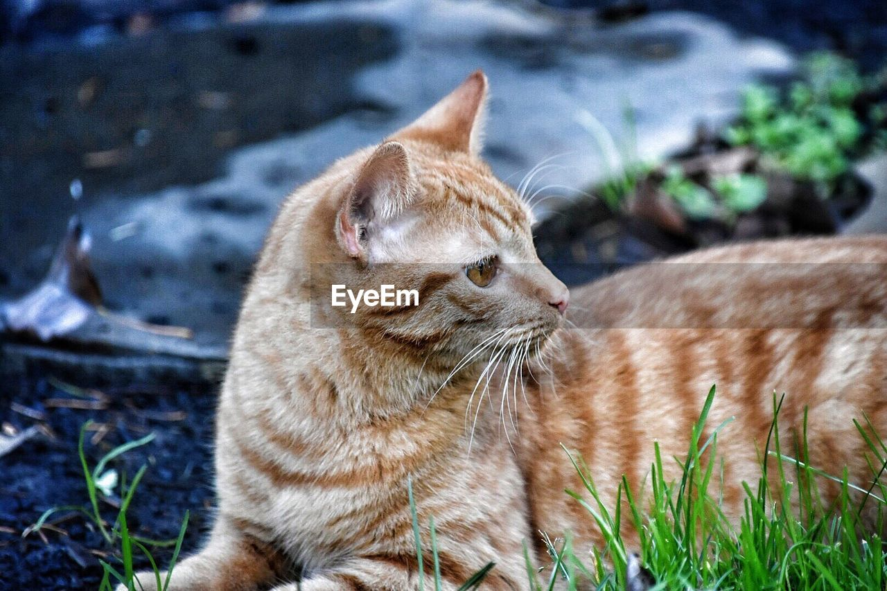 cat, mammal, animal themes, pets, feline, domestic cat, animal, domestic, domestic animals, vertebrate, one animal, whisker, focus on foreground, no people, day, nature, field, ginger cat, relaxation, animal head
