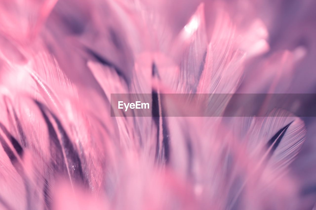 selective focus, pink color, full frame, close-up, backgrounds, no people, plant, beauty in nature, vulnerability, fragility, day, growth, freshness, pattern, outdoors, softness, nature, flower, flowering plant