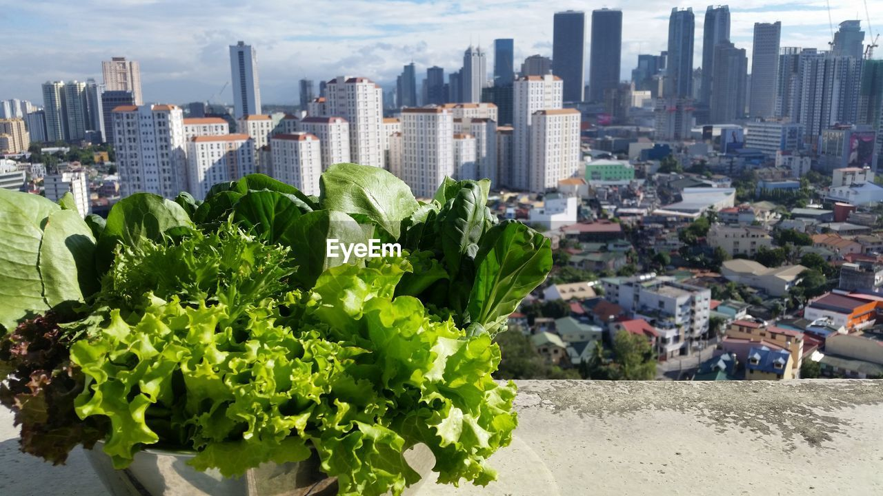 Leaf Vegetables In Container On Retaining Wall With City Buildings Seen In Background