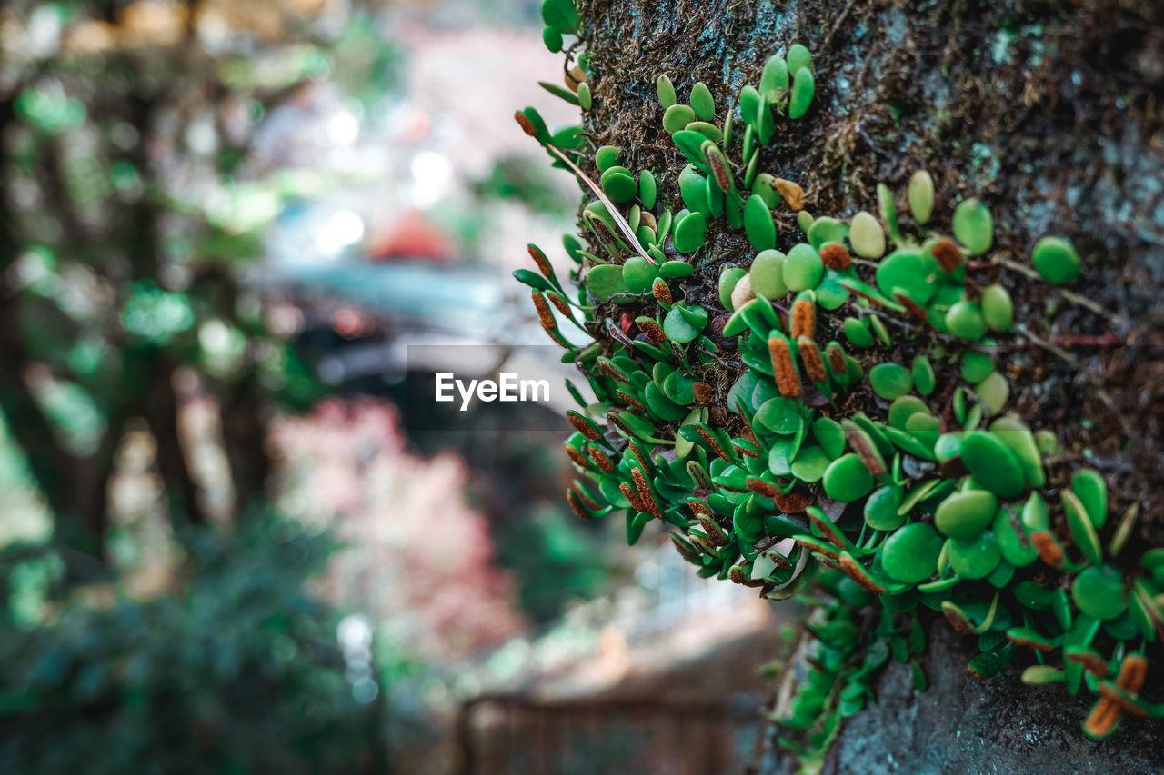 CLOSE-UP OF FRUIT TREE