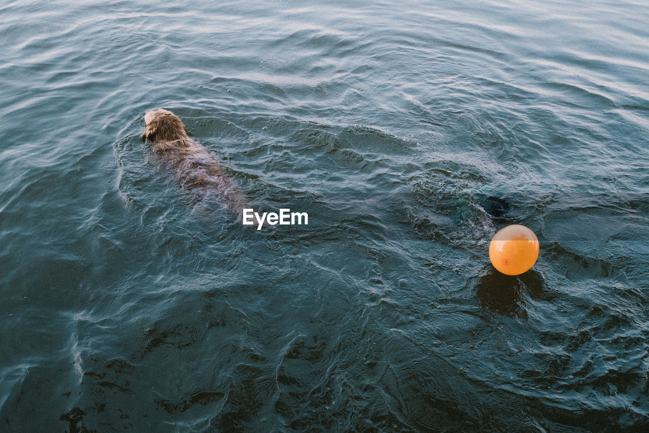 High angle view of dog and balloon in sea