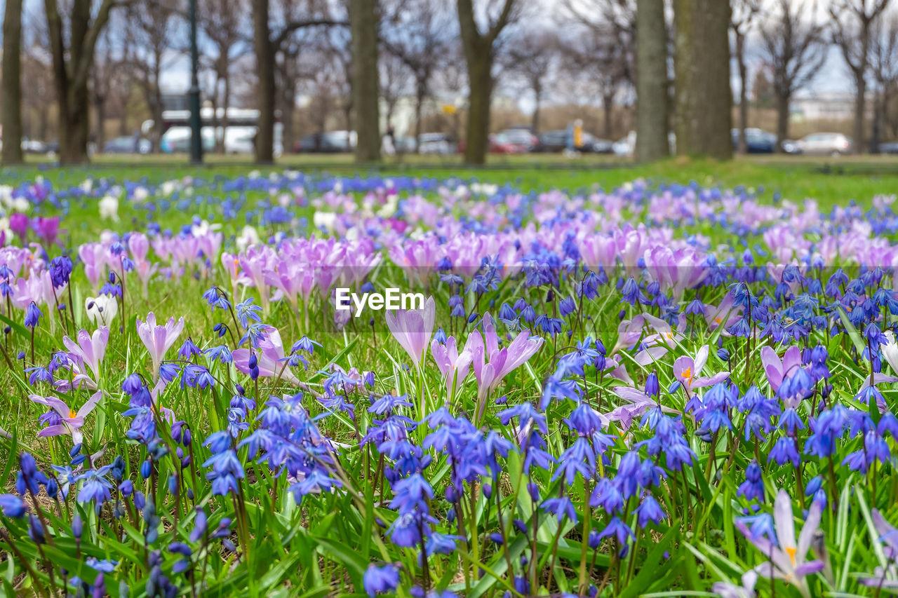 VIEW OF PURPLE CROCUS FLOWERS GROWING IN FIELD