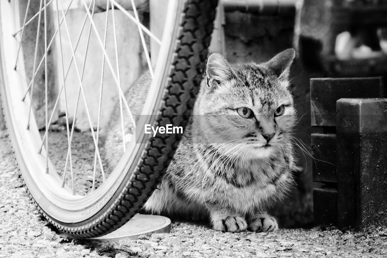 Stray Cat Lying By Bicycle Tire