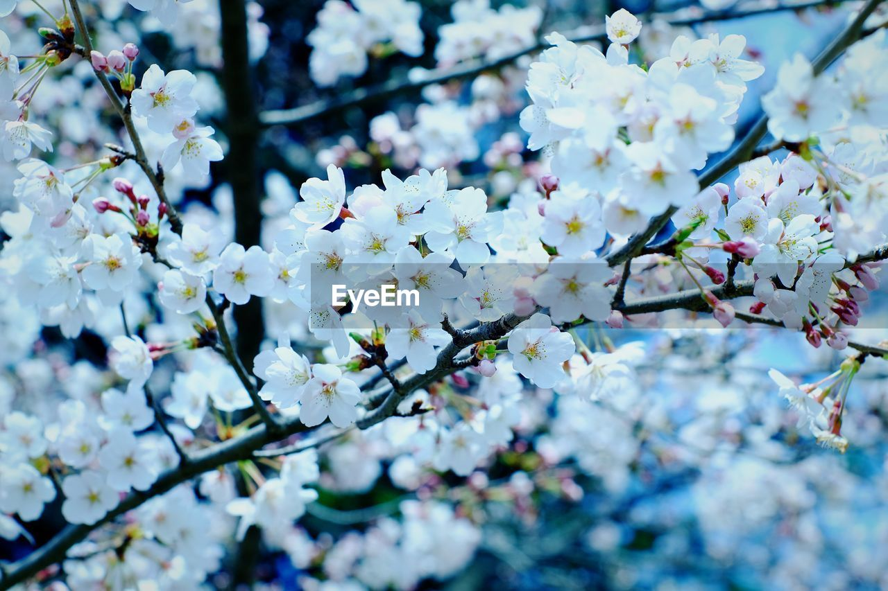 flower, flowering plant, fragility, plant, growth, vulnerability, freshness, beauty in nature, tree, springtime, branch, blossom, selective focus, close-up, day, nature, no people, white color, petal, botany, outdoors, cherry blossom, flower head, cherry tree, spring