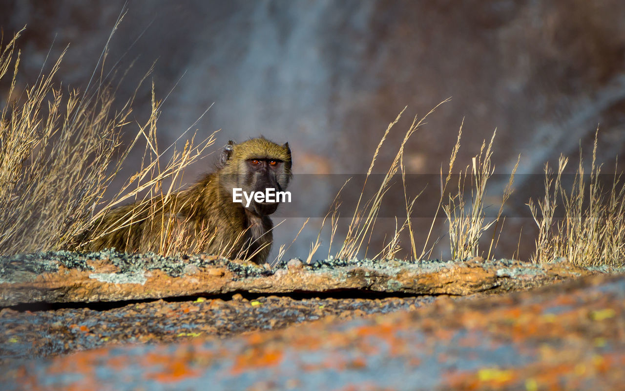 animal wildlife, animals in the wild, selective focus, mammal, one animal, nature, day, primate, vertebrate, no people, outdoors, sitting, portrait, looking at camera, plant, looking