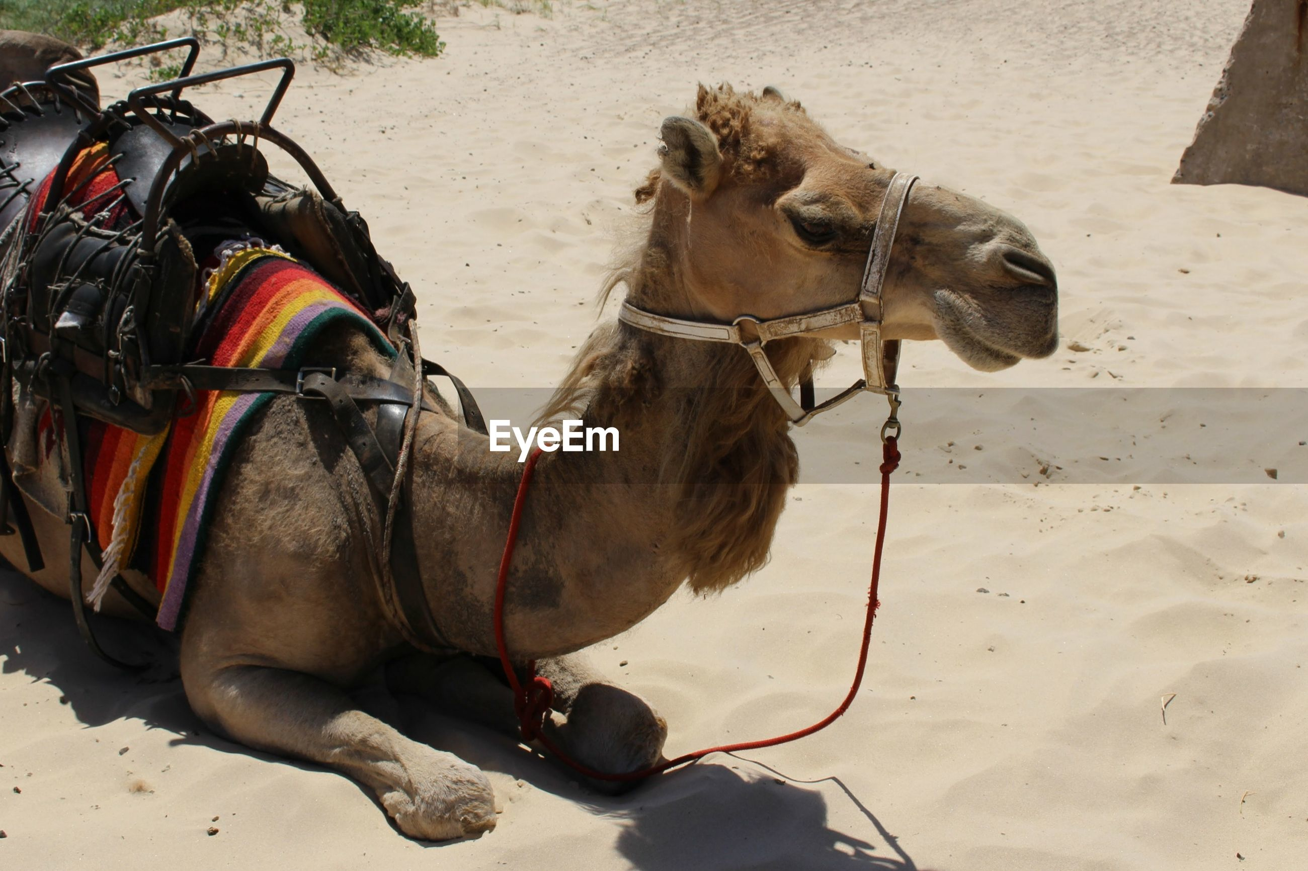 Side view of camel on sand