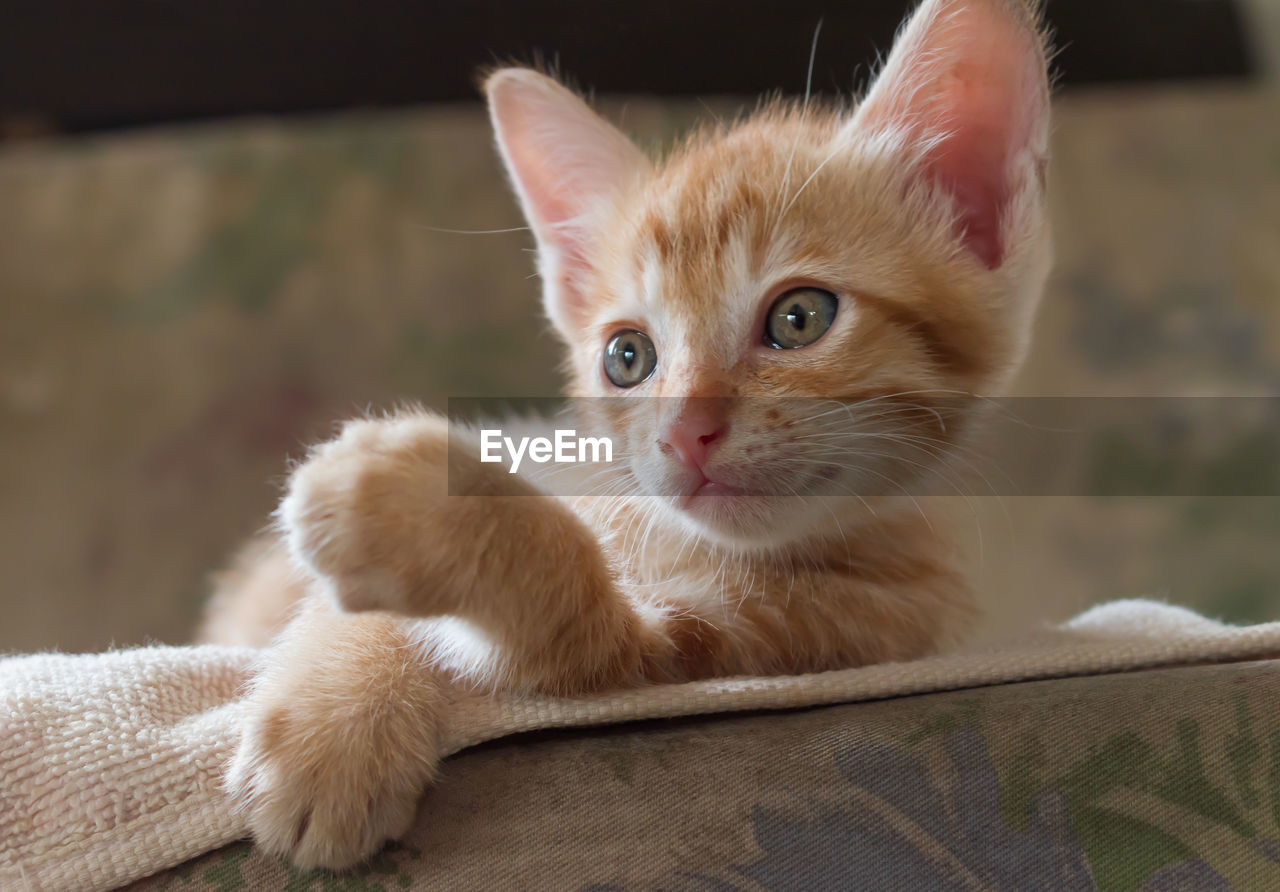 domestic, pets, domestic animals, mammal, cat, animal themes, domestic cat, feline, one animal, animal, vertebrate, looking at camera, portrait, whisker, focus on foreground, close-up, indoors, relaxation, home interior, no people, kitten, ginger cat