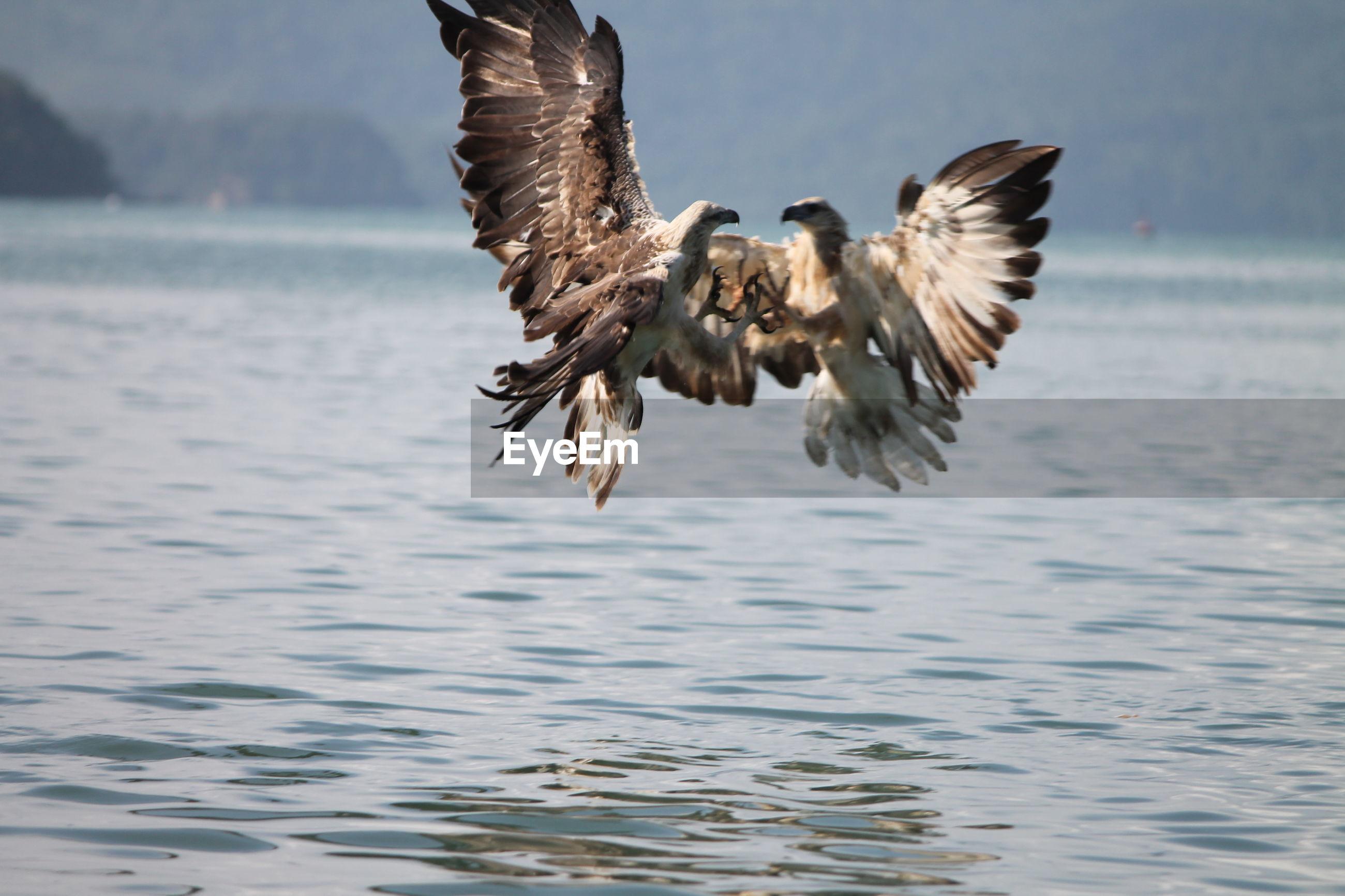 Fighting hawks over lake