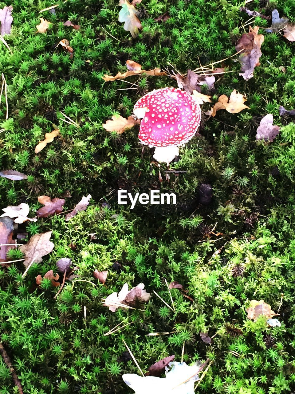 growth, plant, land, day, mushroom, fungus, beauty in nature, nature, field, no people, vegetable, toadstool, fly agaric mushroom, food, high angle view, green color, grass, pink color, freshness, outdoors