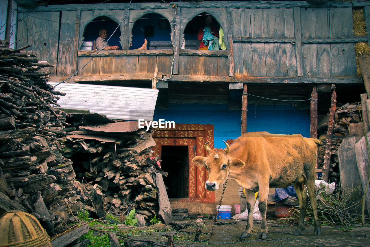 mammal, animal themes, one animal, animal, pets, vertebrate, domestic animals, domestic, no people, architecture, built structure, day, standing, building exterior, nature, animal wildlife, wood - material, plant, cow, building, outdoors