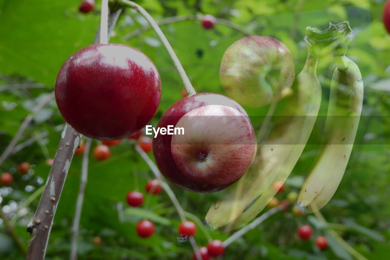 fruit, food and drink, red, healthy eating, food, growth, freshness, nature, close-up, no people, outdoors, green color, ripe, plant, tree, day, apple - fruit, focus on foreground, beauty in nature, grass, water