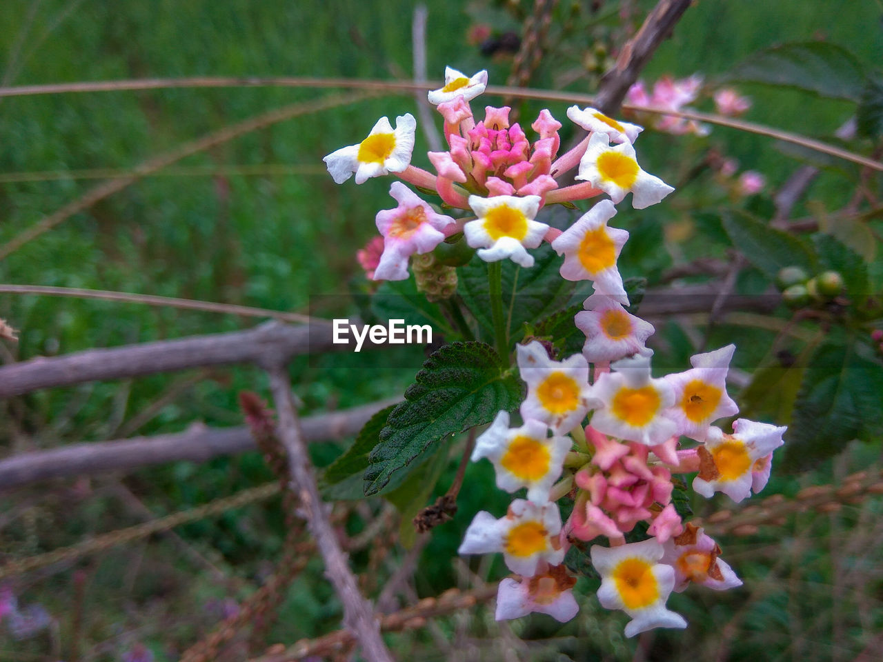 flowering plant, flower, plant, fragility, vulnerability, freshness, growth, beauty in nature, petal, flower head, nature, close-up, inflorescence, day, no people, selective focus, focus on foreground, outdoors, lantana, botany