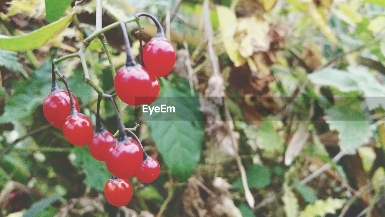 red, fruit, food and drink, growth, tree, focus on foreground, nature, food, growing, day, rose hip, outdoors, hanging, close-up, no people, twig, branch, freshness, rowanberry, healthy eating, beauty in nature, plant, leaf