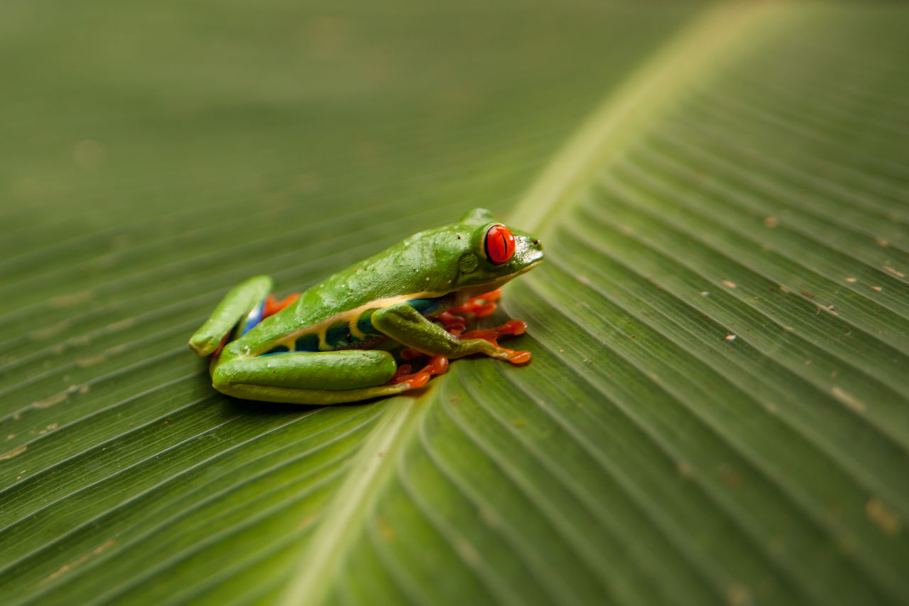 plant part, green color, leaf, animal themes, animal, animal wildlife, animals in the wild, one animal, selective focus, close-up, invertebrate, no people, nature, insect, day, leaves, outdoors, plant, amphibian