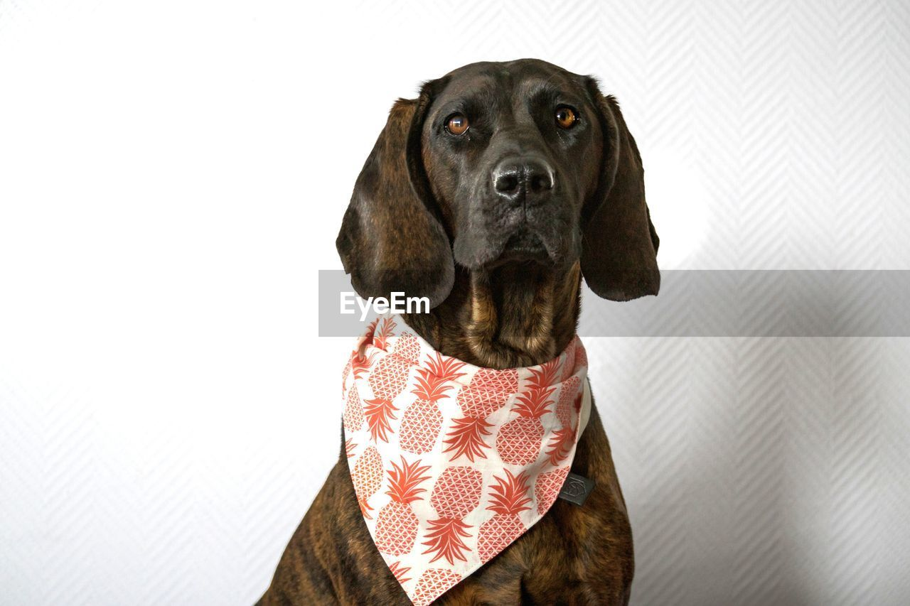 one animal, dog, canine, pets, domestic animals, domestic, mammal, animal themes, animal, vertebrate, indoors, looking, portrait, looking away, no people, studio shot, close-up, animal body part, copy space, animal head, weimaraner, menswear