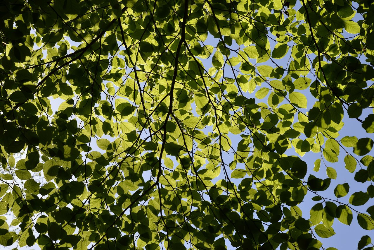 leaf, plant part, growth, plant, tree, low angle view, green color, beauty in nature, nature, day, no people, full frame, tranquility, backgrounds, outdoors, sunlight, branch, freshness, sky, close-up, leaves, directly below