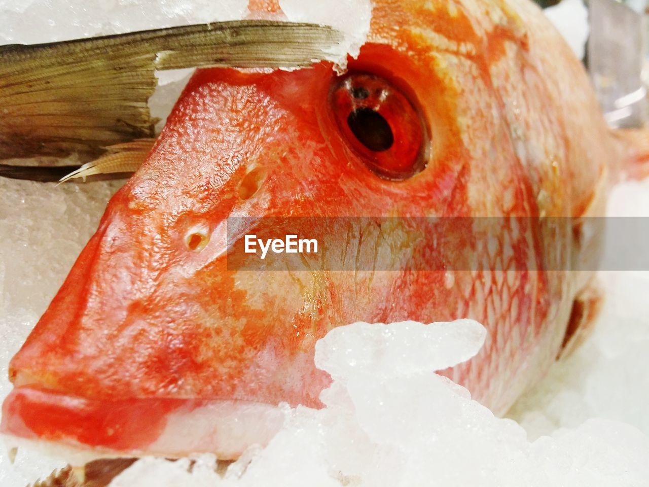 Close-up of orange fish in ice