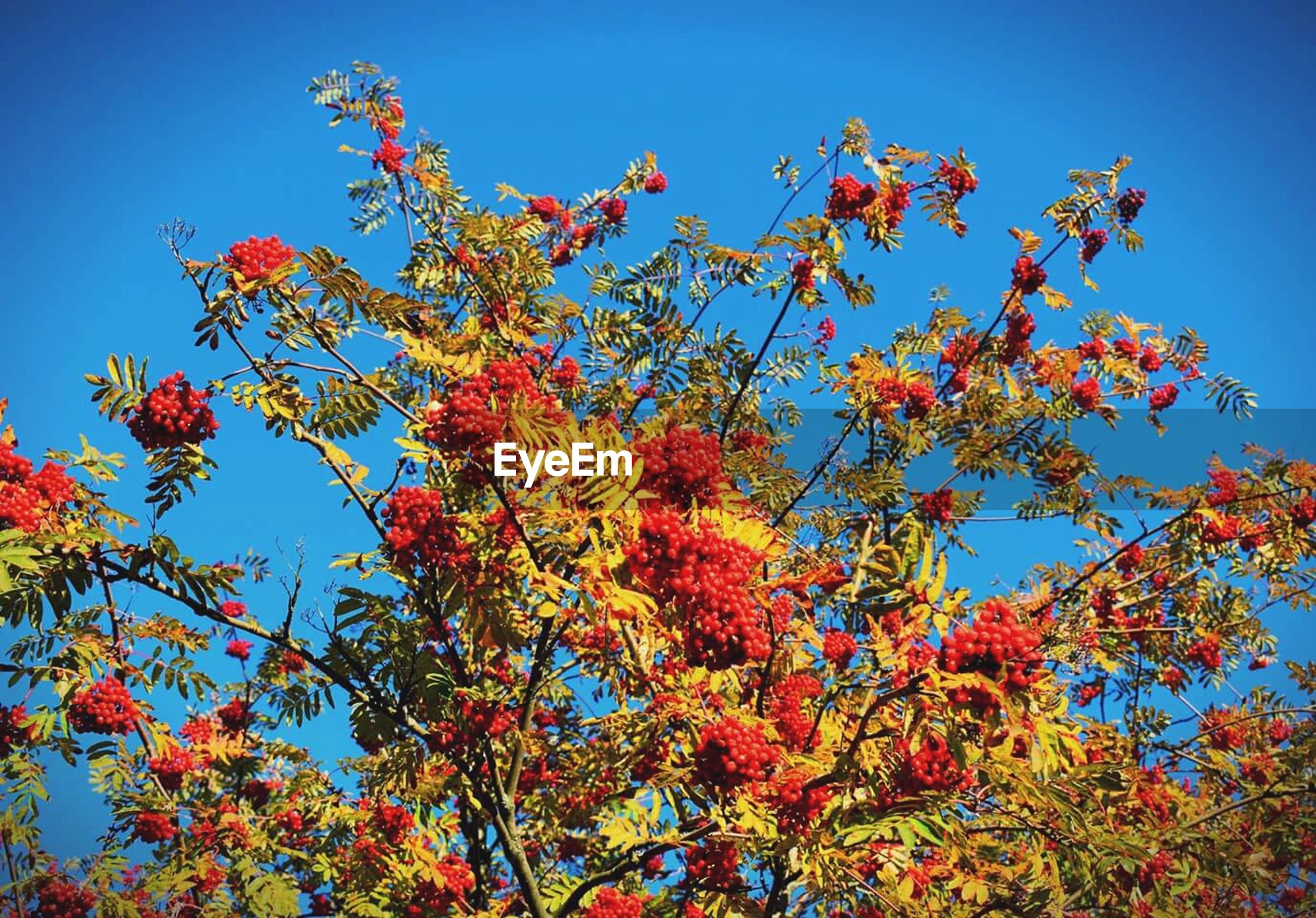low angle view, tree, branch, season, change, autumn, growth, blue, beauty in nature, clear sky, nature, orange color, day, scenics, high section, red, outdoors, tranquility, sky, no people, multi colored, green color, vibrant color, tranquil scene
