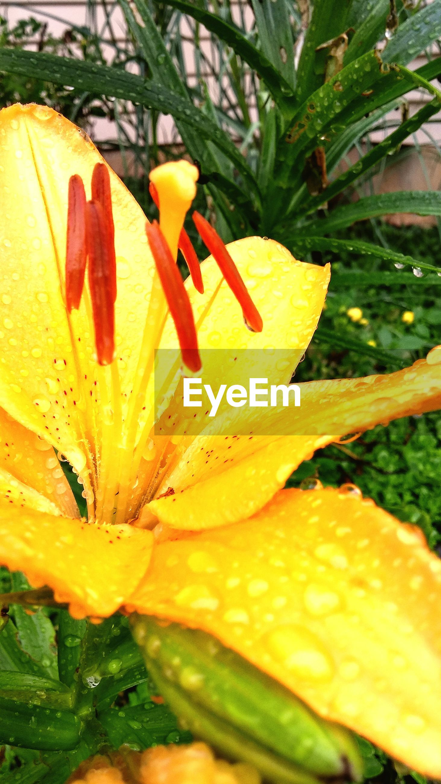 Close-up of dew drops on yellow flower