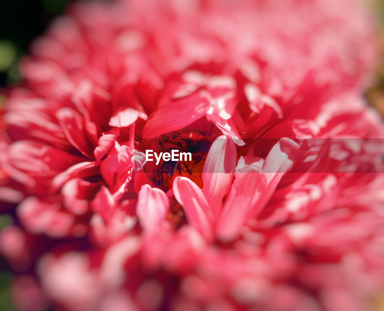 flower, petal, fragility, nature, beauty in nature, flower head, freshness, red, no people, selective focus, growth, close-up, rose - flower, plant, outdoors, backgrounds, day