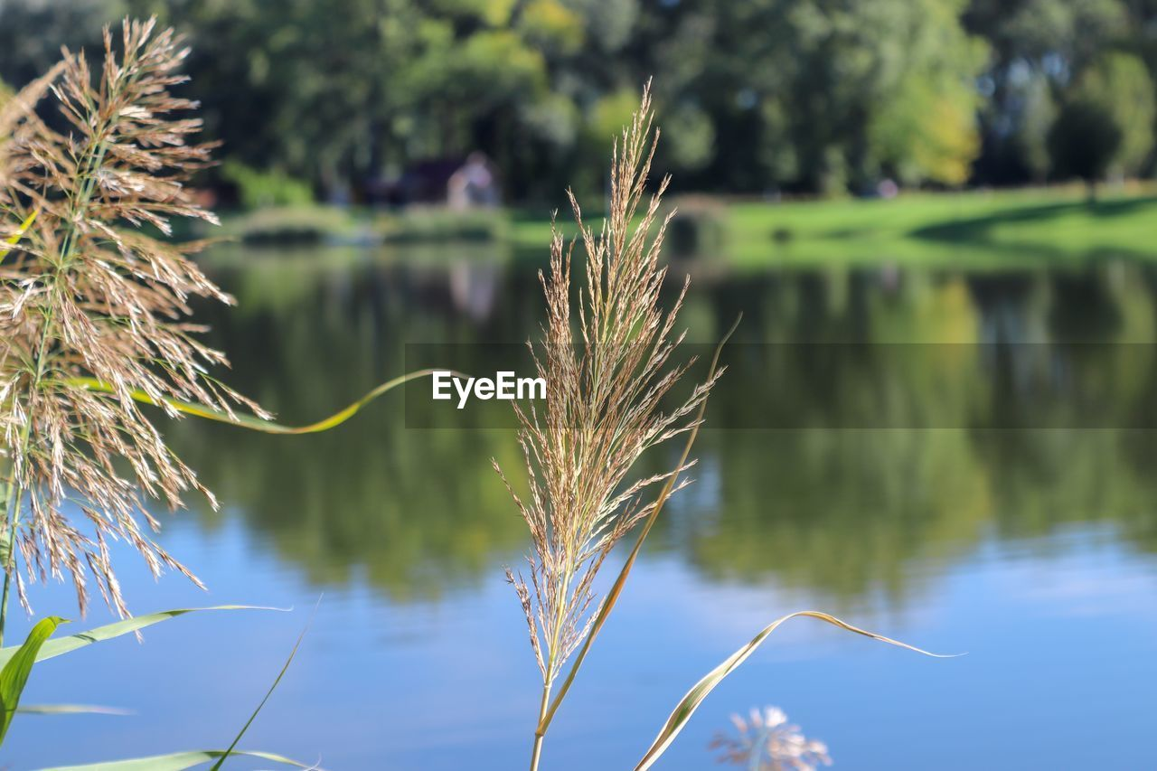 focus on foreground, plant, growth, nature, water, beauty in nature, close-up, day, tranquility, no people, lake, outdoors, green color, sunlight, reflection, grass, scenics - nature, tranquil scene, reed - grass family, blade of grass, stalk