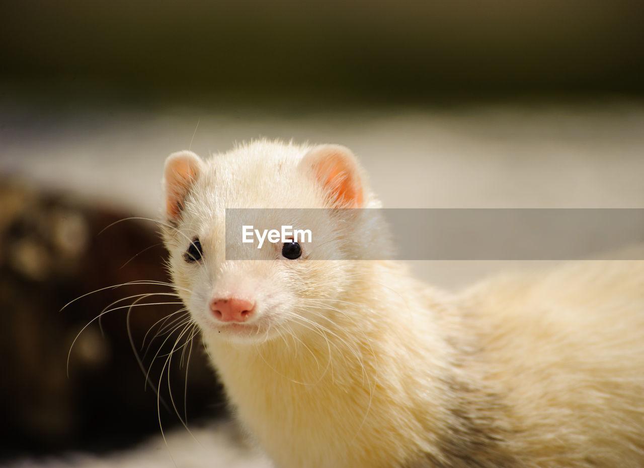 Close-up portrait of weasel