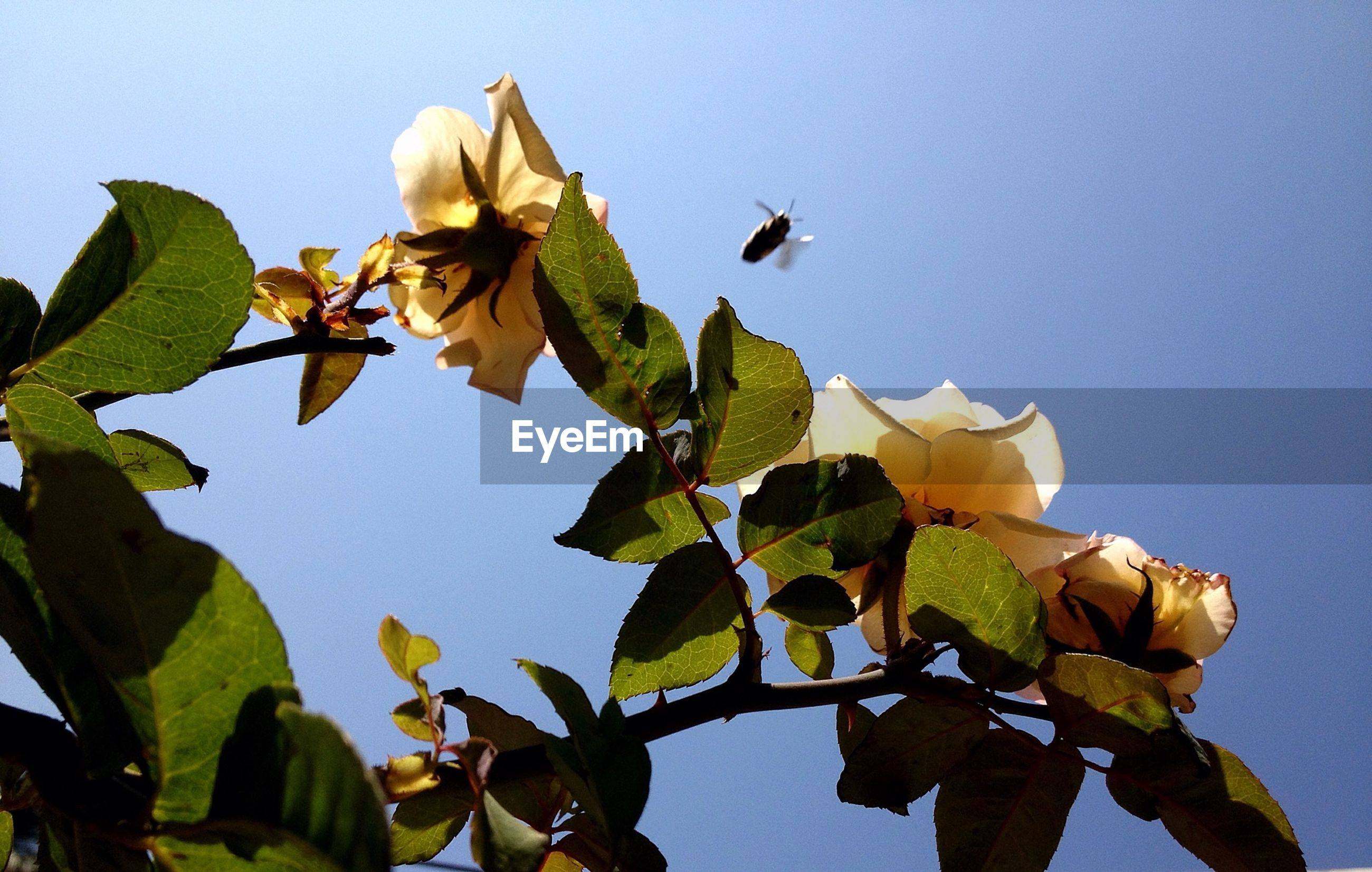 Low angle view of bee flying over flowers