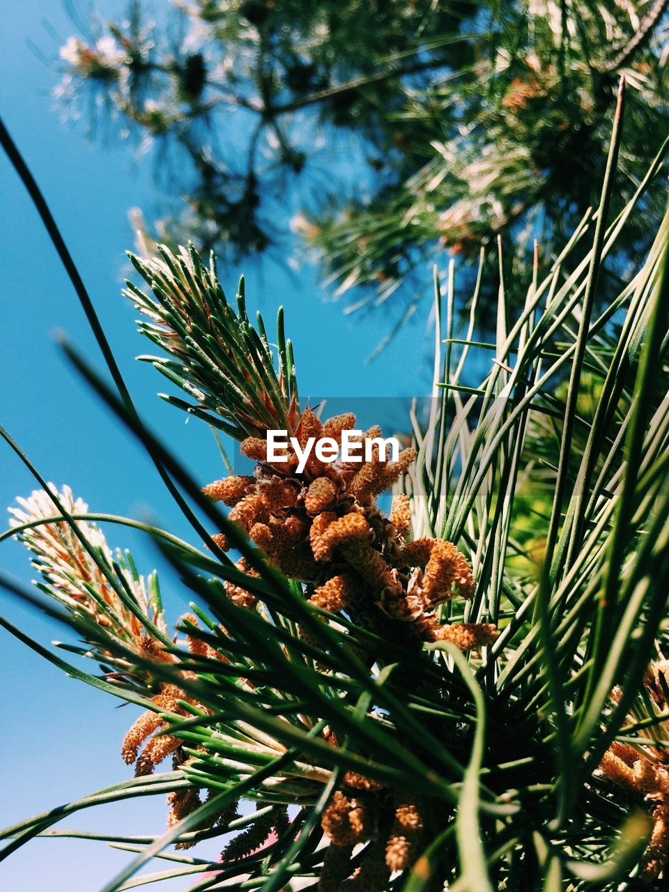 plant, tree, growth, nature, pine cone, day, low angle view, no people, sky, beauty in nature, coniferous tree, close-up, green color, pine tree, selective focus, tranquility, branch, flower, focus on foreground, sunlight, outdoors, needle - plant part