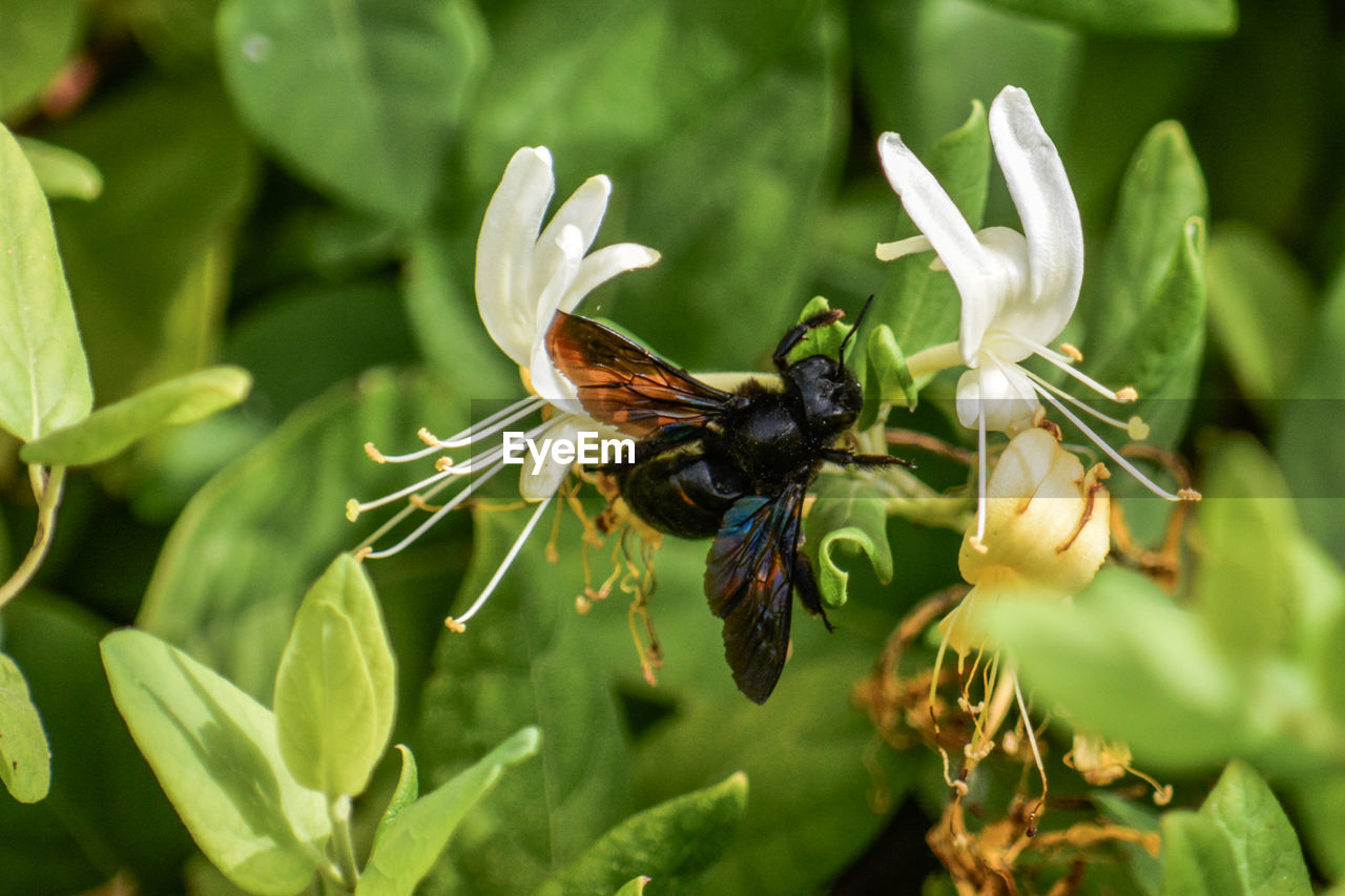 invertebrate, insect, animal themes, animal wildlife, animals in the wild, animal, one animal, plant, beauty in nature, flower, flowering plant, growth, close-up, bee, green color, plant part, leaf, day, nature, focus on foreground, flower head, no people, pollination, animal wing, outdoors