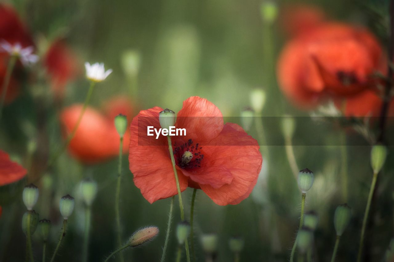 flower, growth, nature, red, petal, beauty in nature, plant, poppy, freshness, fragility, focus on foreground, flower head, day, outdoors, no people, blooming, close-up