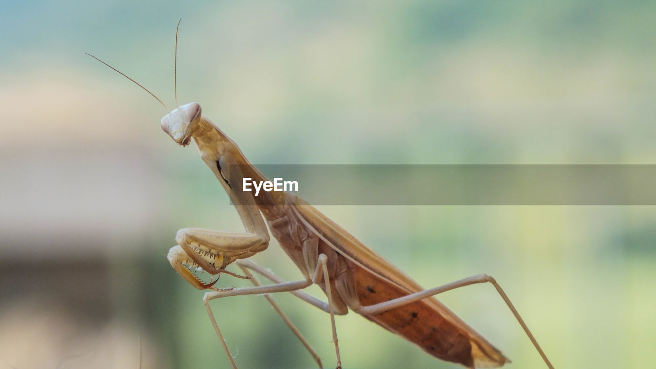 one animal, animal themes, animal, animal wildlife, invertebrate, animals in the wild, insect, focus on foreground, praying mantis, close-up, animal body part, day, animal antenna, nature, no people, green color, outdoors, grasshopper, selective focus, plant, animal eye