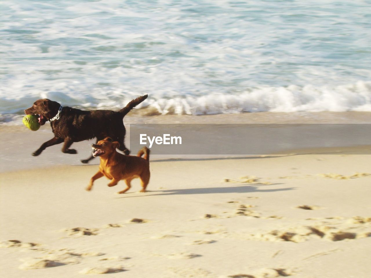 pets, domestic, domestic animals, animal, mammal, animal themes, canine, dog, one animal, beach, motion, sea, land, running, vertebrate, water, sand, nature, wave, no people