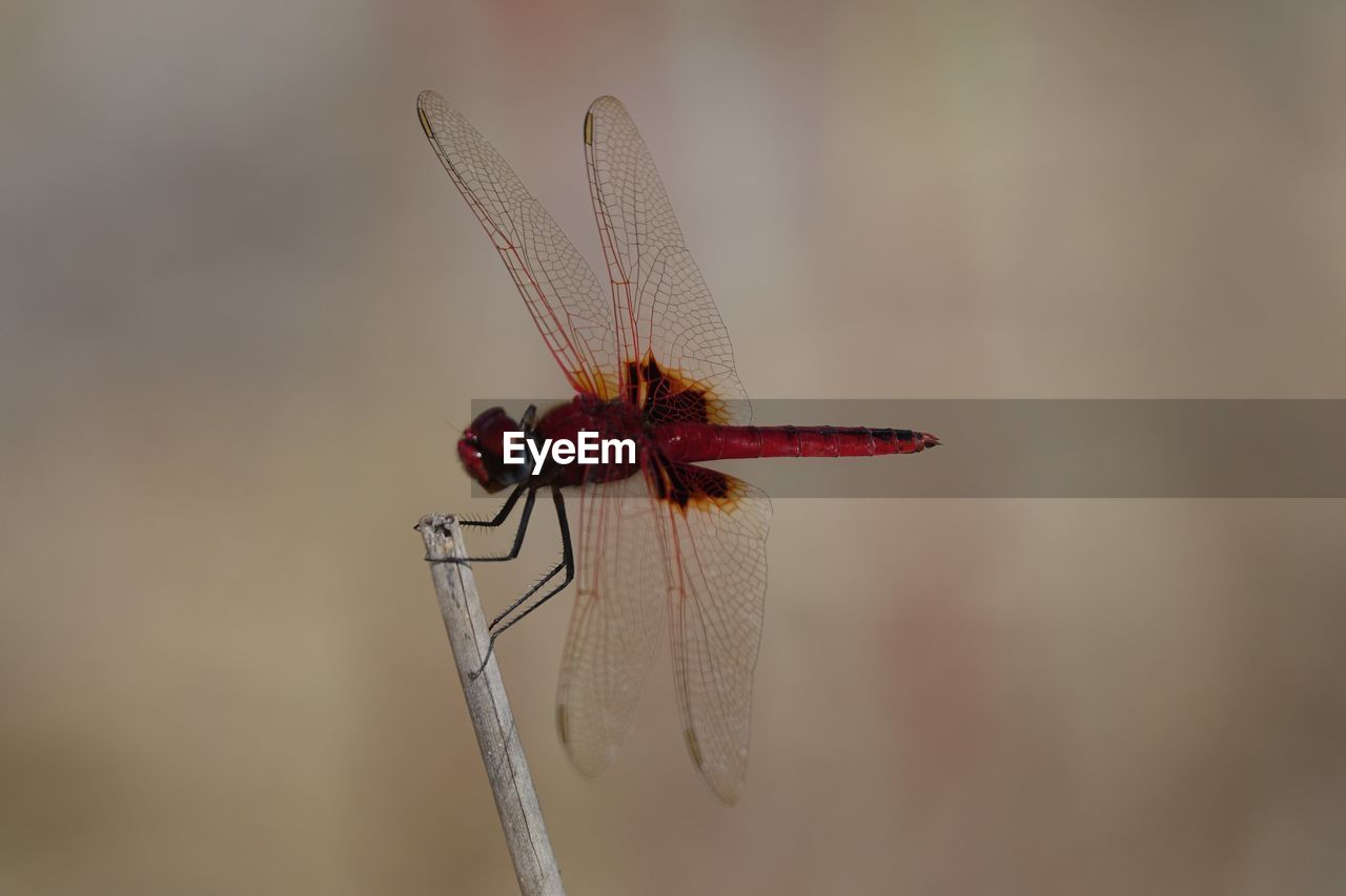 invertebrate, insect, animal themes, animal, one animal, animal wildlife, animal wing, animals in the wild, close-up, dragonfly, focus on foreground, red, no people, plant, day, nature, outdoors, selective focus, zoology, twig