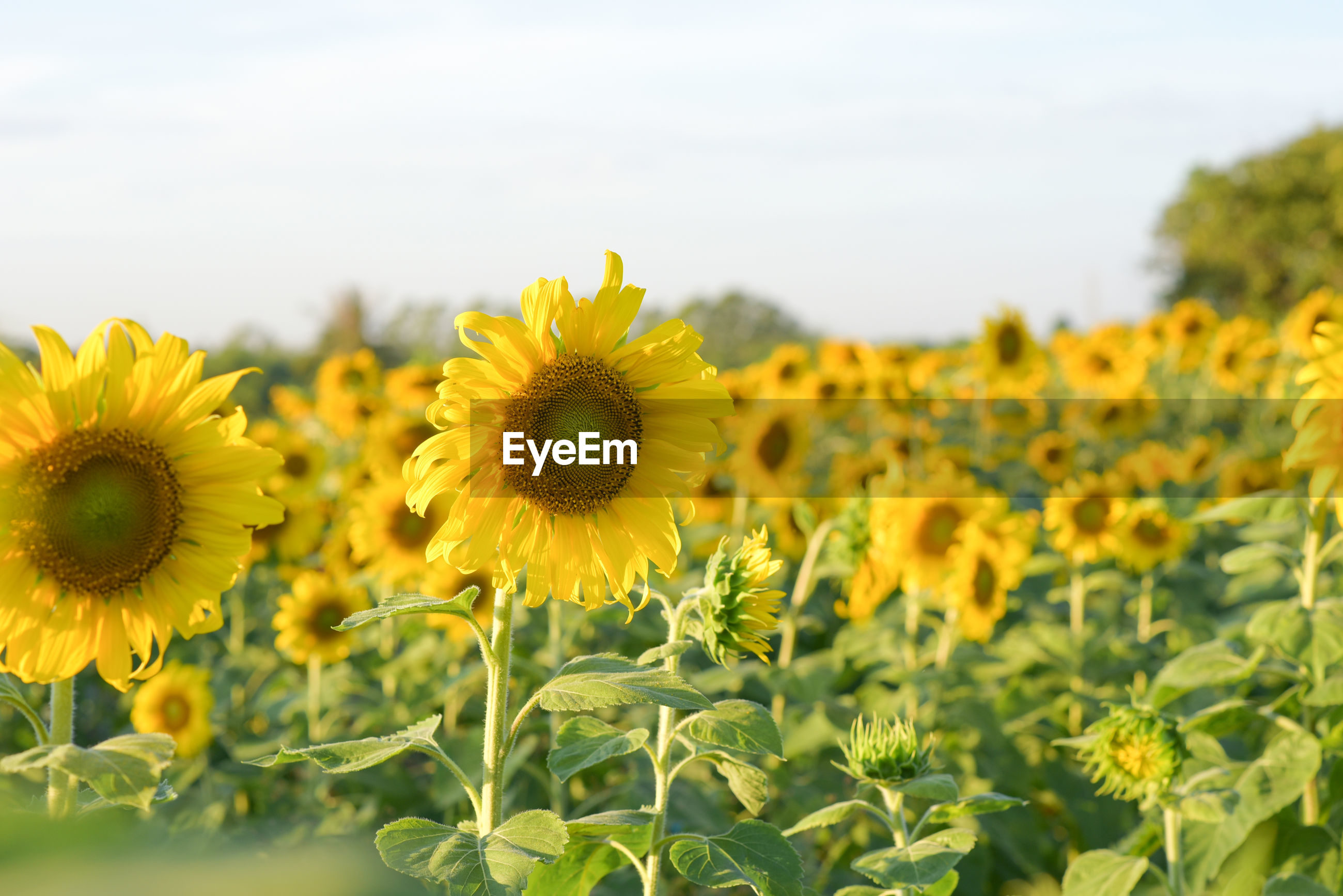 CLOSE-UP OF YELLOW SUNFLOWER ON FIELD