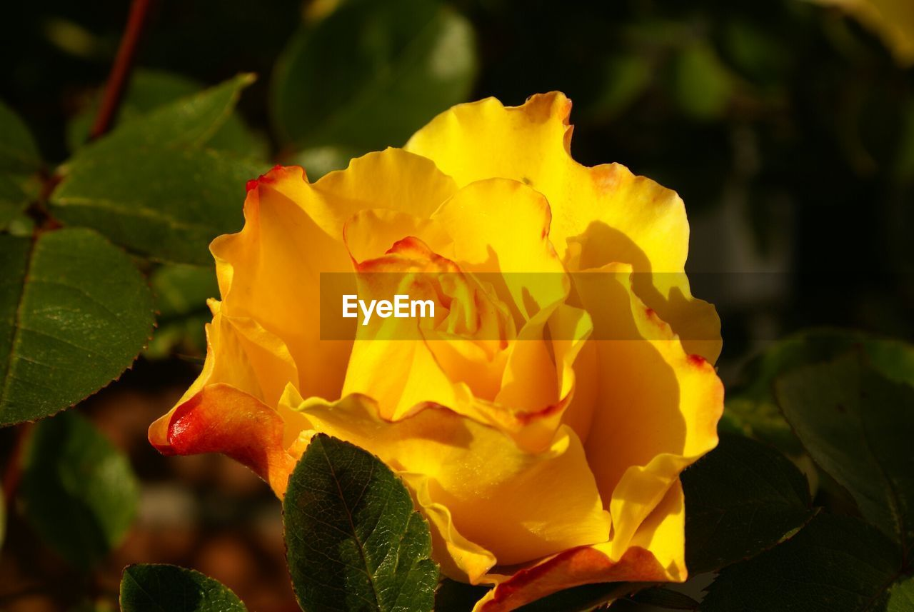 flower, petal, fragility, yellow, nature, beauty in nature, flower head, freshness, close-up, plant, outdoors, growth, no people, rose - flower, day, blooming