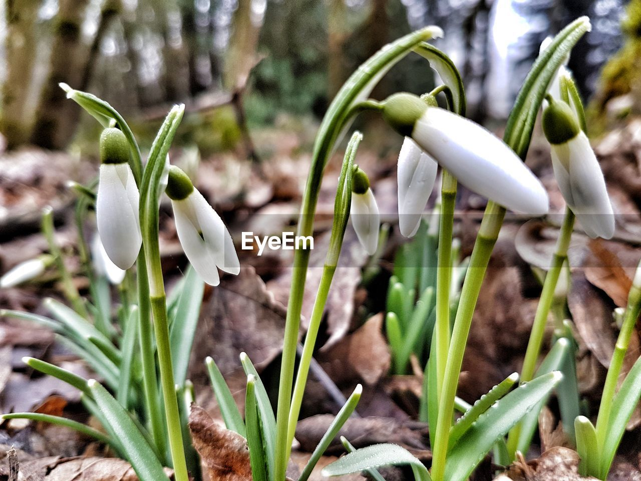 snowdrop, growth, nature, flower, fragility, beauty in nature, petal, freshness, white color, plant, flower head, green color, close-up, day, no people, outdoors, blooming, crocus